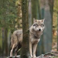 Sau 100 năm, chó sói mới xuất đầu lộ diện ở Bỉ