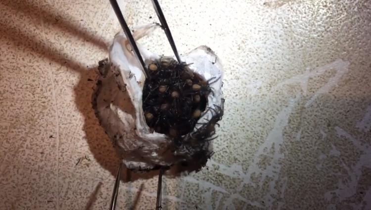 Bọc trứng nhện mạng phễu.