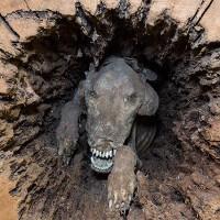 Chó giữ nguyên hình dạng suốt 60 năm mắc kẹt giữa thân cây