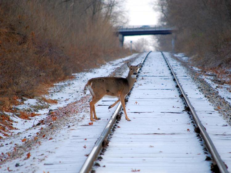 Lý do mà hươu cứ đến gần đường ray tàu hỏa là vì chúng liếm đường ray.