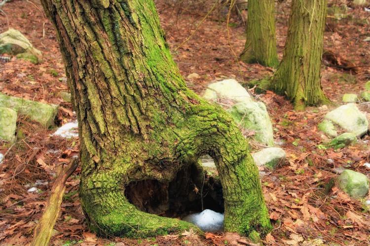 Rễ cây dẻ sồi
