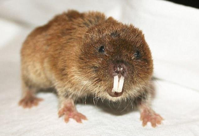 Chuột chũi Nhật Bản hiện đã mất hoàn toàn nhiễm sắc thể Y.
