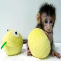 Trung Quốc nhân bản thành công khỉ, tiến gần tới nhân bản người