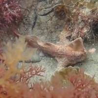 Phát hiện loài cá đi bộ có tay quý hiếm dưới đáy biển Tasmania