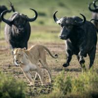 Đơn độc rình mồi, sư tử bị đàn trâu hợp sức phản công