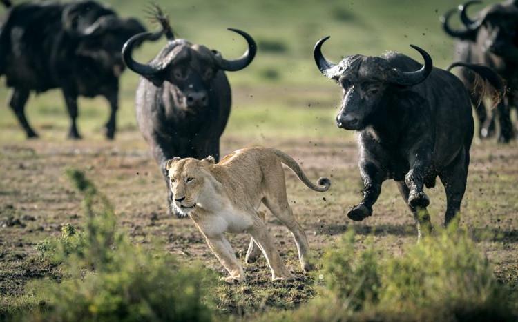Sư tử cái bỏ chạy khi bị đàn trâu phản công.