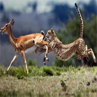 Bí quyết chạy thoát loài săn mồi nhanh nhất hành tinh