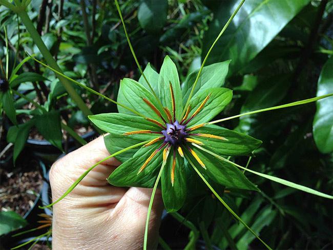 Bảy lá một hoa
