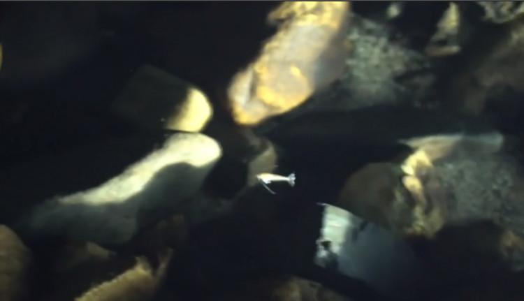 Cá râu chỉ vàng mới được phát hiện ở Trung Quốc.