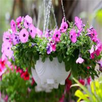 Kỹ thuật trồng hoa dạ yến thảo bằng cành