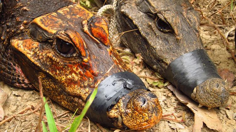 Con cá sấu hang động màu cam đặt bên cạnh cá sấu lùn bình thường.