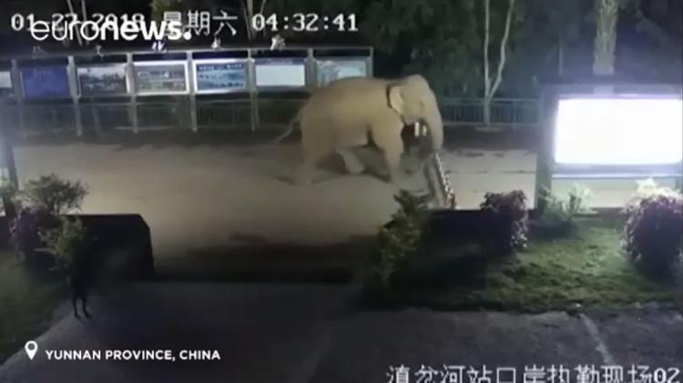 Con voi xuất hiện khi trời vẫn còn tối và ngang nhiên đi giữa đường.
