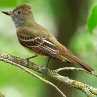 Nhiệt độ toàn cầu tăng làm thay đổi vóc dáng của loài chim