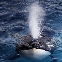 Wikie: Con cá voi biết nói tiếng người đầu tiên trong lịch sử nhân loại