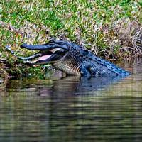Cá sấu ăn thịt đồng loại trên mặt hồ Mỹ