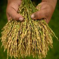 Phát hiện khoa học: Năng suất mùa màng phụ thuộc vào... lá cây