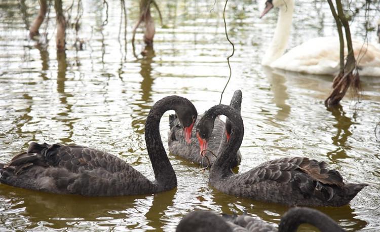 Khi đã kết đôi, chúng thường chạm cổ nhau và tạo thành trái tim. Thiên nga kết đôi suốt đời.