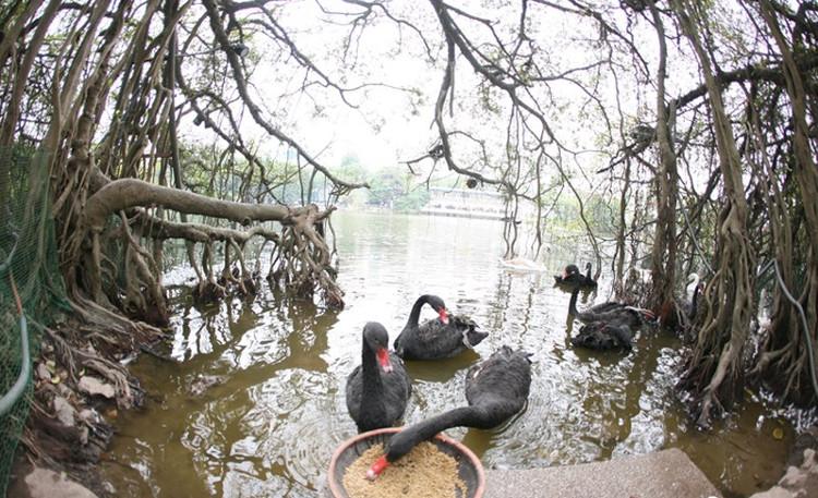 Sáng nay, bầy thiên nga vừa được thả xuống hồ Hoàn Kiếm