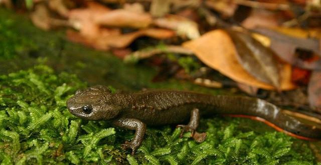 """Loài """"ếch đội lốt thằn lằn này"""" có đầu dẹt, mõm ngắn, tay gần như vuông"""