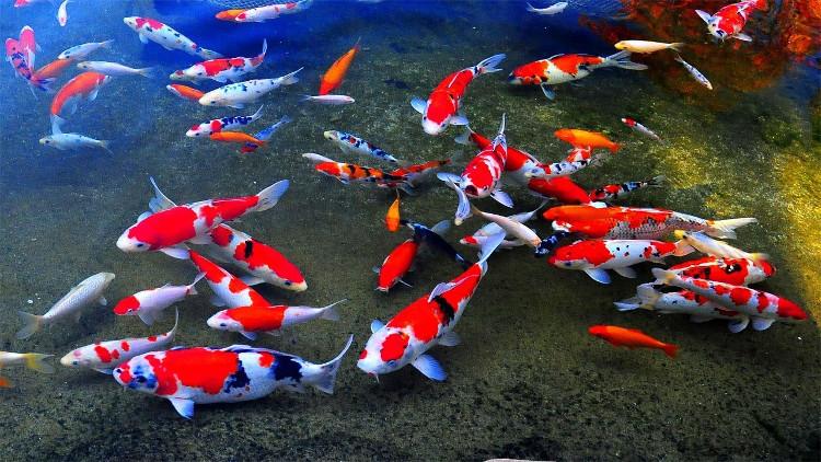 Cá chép Koi Nhật Bản.