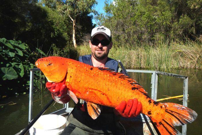 Cá Koi khổng lồ bắt tại Úc.
