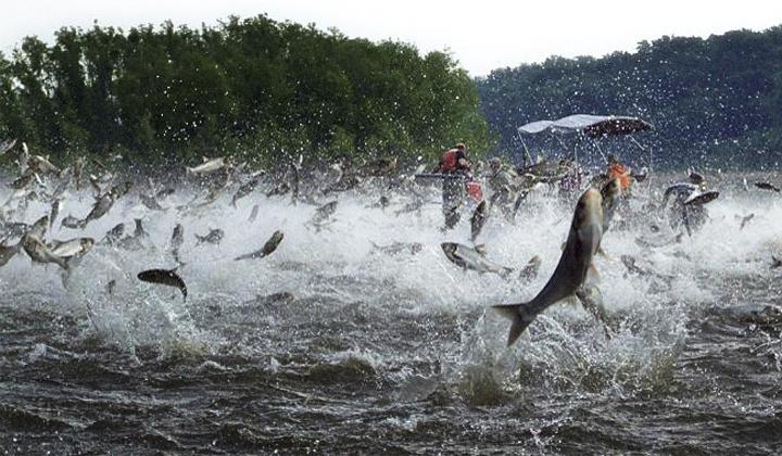 Một con cá chép cỡ lớn có thể nhảy vọt lên khỏi mặt nước tới 3m