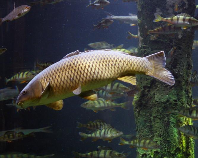 Người La Mã cổ là những cư dân đầu tiên của châu Âu nuôi cá chép