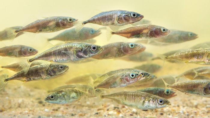 Cá thường bơi theo đàn đông