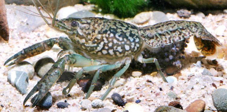 Loài tôm bị đột biến này được tìm thấy vào năm 1995.