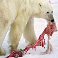 Tại sao động vật ăn thịt con của mình?