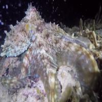 Bạch tuộc nhấp nháy như đèn màu dưới đáy biển