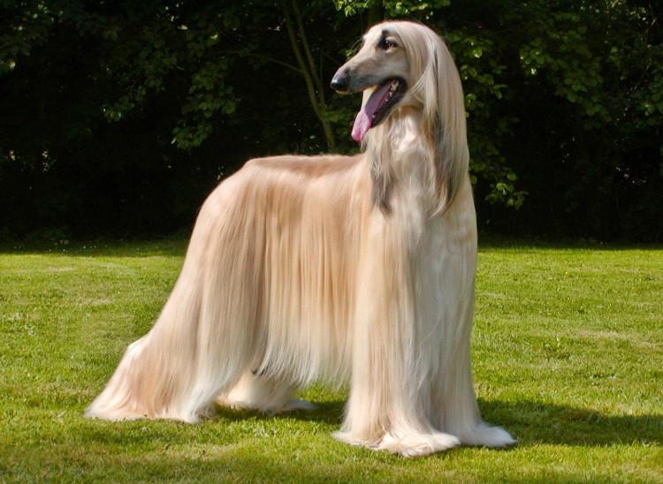 Chó săn Afghan (Afghan Hound).