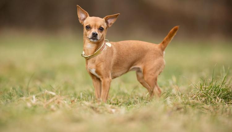 Chó Chihuahua - trọng lượng 1,5-2,2kg.