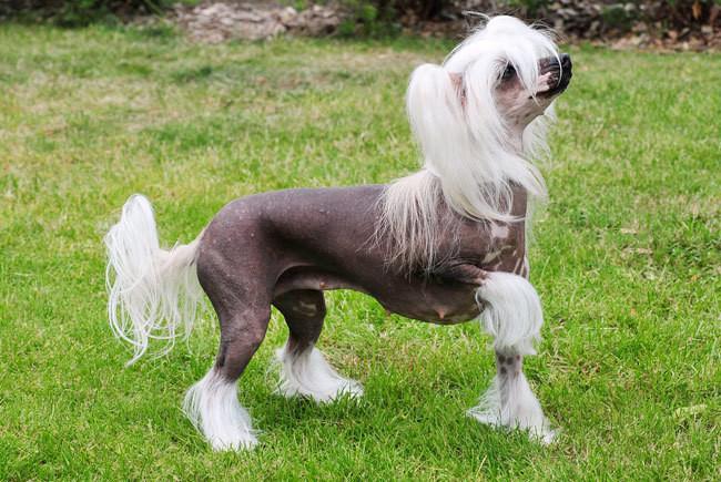 Chó có mào là một loài chó cảnh cỡ nhỏ có nguồn gốc từ Trung Quốc.