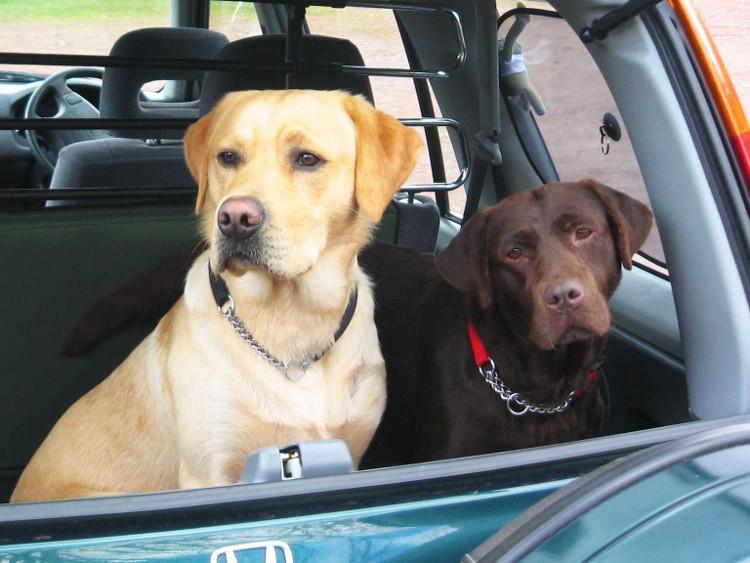 Loài chó Labrador Retriever