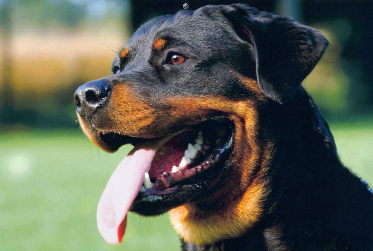 Chó Rottweiler hay còn gọi là chó rotti là một giống chó có nguồn gốc ở Đức.
