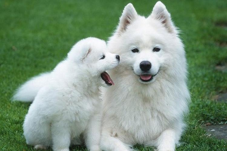 Loài chó Samoyedc có giá từ 6.500 đến 12.000 USD.
