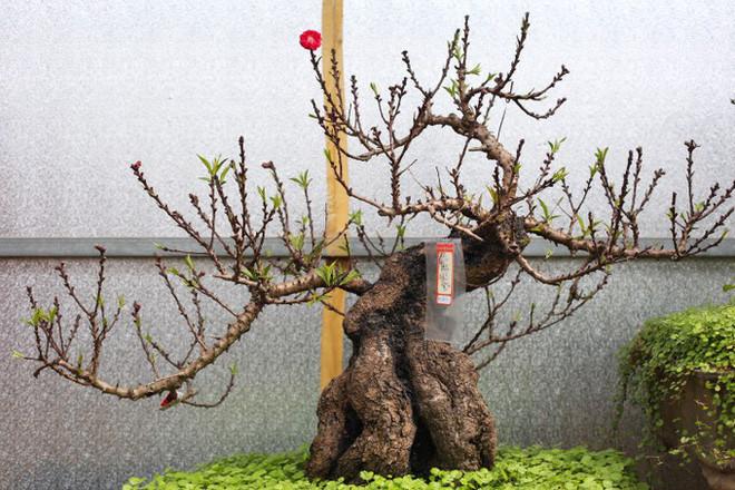 Đào Thất Thốn là loại đào cổ, hiếm và rất đắt đỏ.