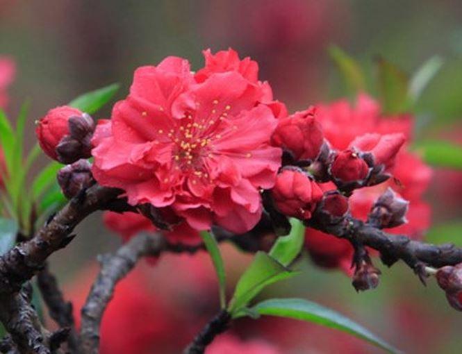 """Hoa mọc thành """"chùm"""" vài bông một."""