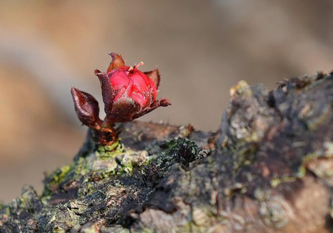 Hoa mọc từ giữa gốc, giữa thân cây - điểm đặc biệt chỉ có ở đào Thất Thốn.