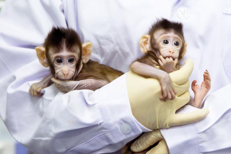 Khỉ nhân bản mang lại hiệu quả cao hơn trong nghiên cứu y sinh.