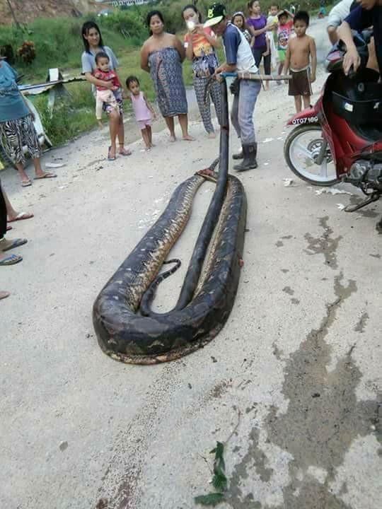 Con trăn khổng lồ trở thành món ăn cho mọi người dân trong làng.