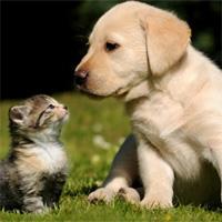 """""""Mèo đến nhà thì khó, chó đến nhà thì sang"""", vì sao?"""
