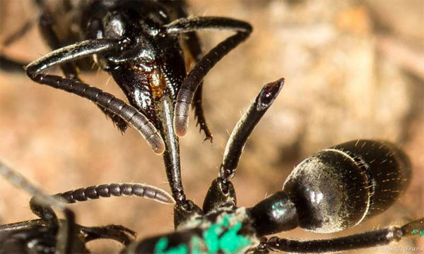 Matabele là một trong những loài kiến lớn nhất thế giới