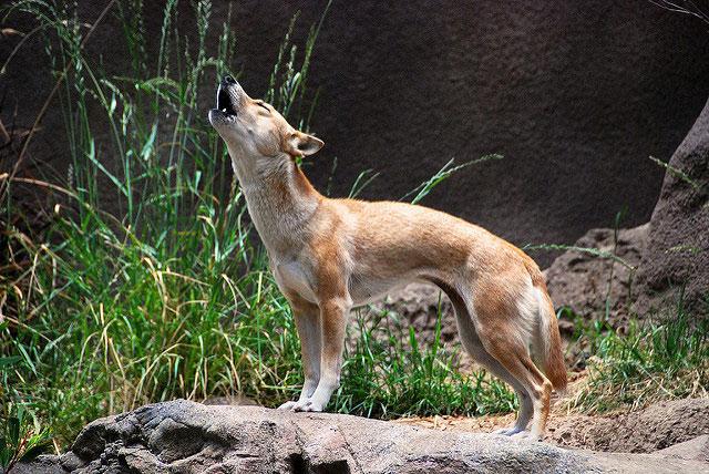 Chó biết hát New Guinea là một trong những giống chó hoang hiếm nhất thế giới