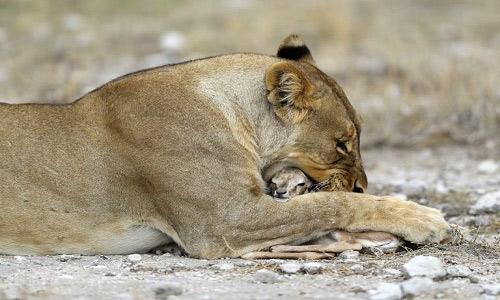 Sư tử cái ôm chặt linh dương như thể đó là con ruột của nó