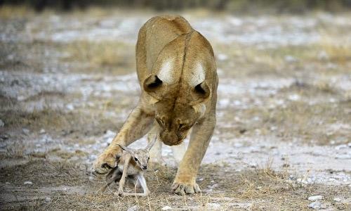 Con sư tử cái thậm chí bảo vệ linh dương trước đồng loại đói mồi