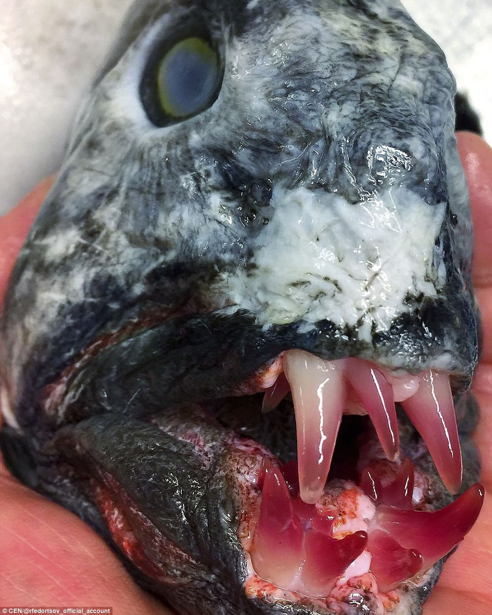 Cá sói (wolfish) - còn gọi là loài cá... xấu lạ.