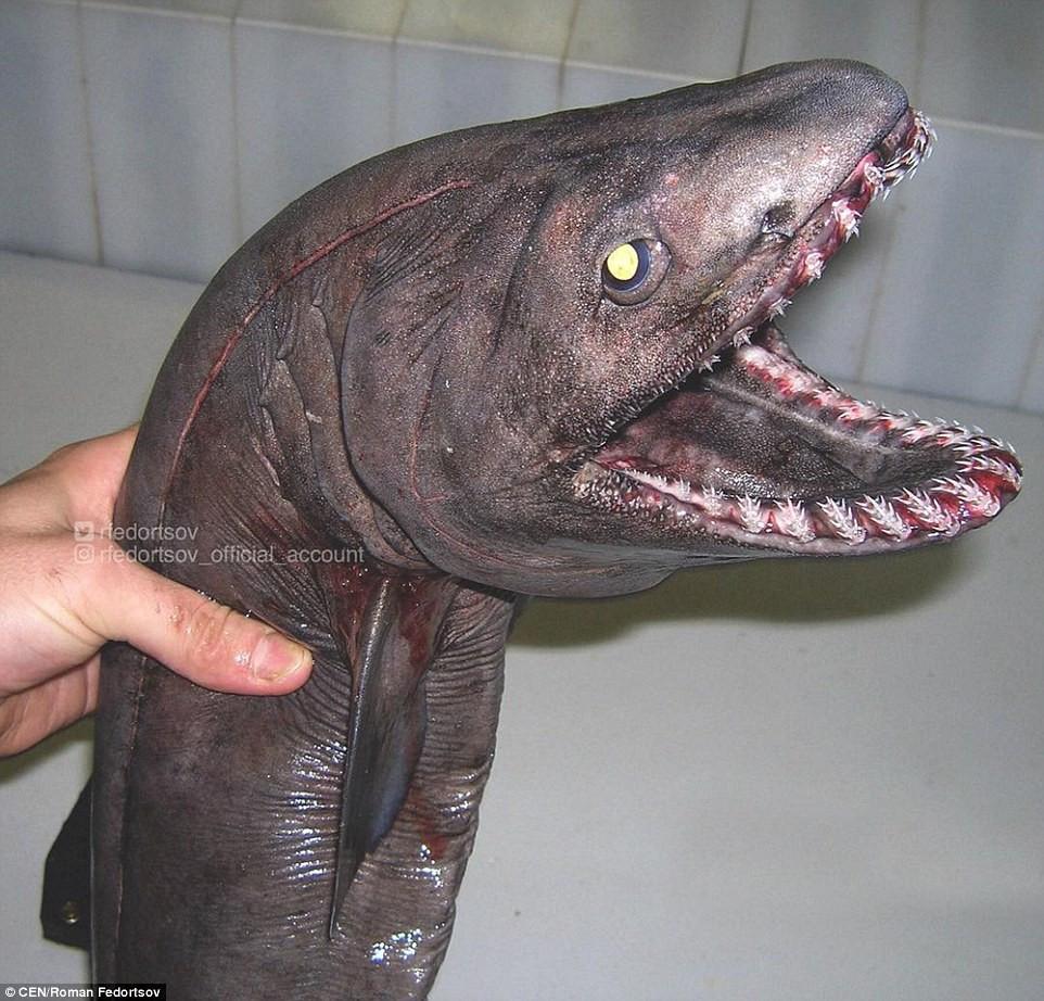 Cá mập mang xếp (frilled shark) với bộ răng sắc nhọn.