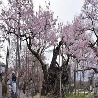 Chiêm ngưỡng cây anh đào được chính phủ Nhật xếp vào hàng báu vật quốc gia
